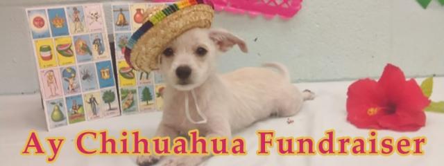 FB_ay-chihuahua1